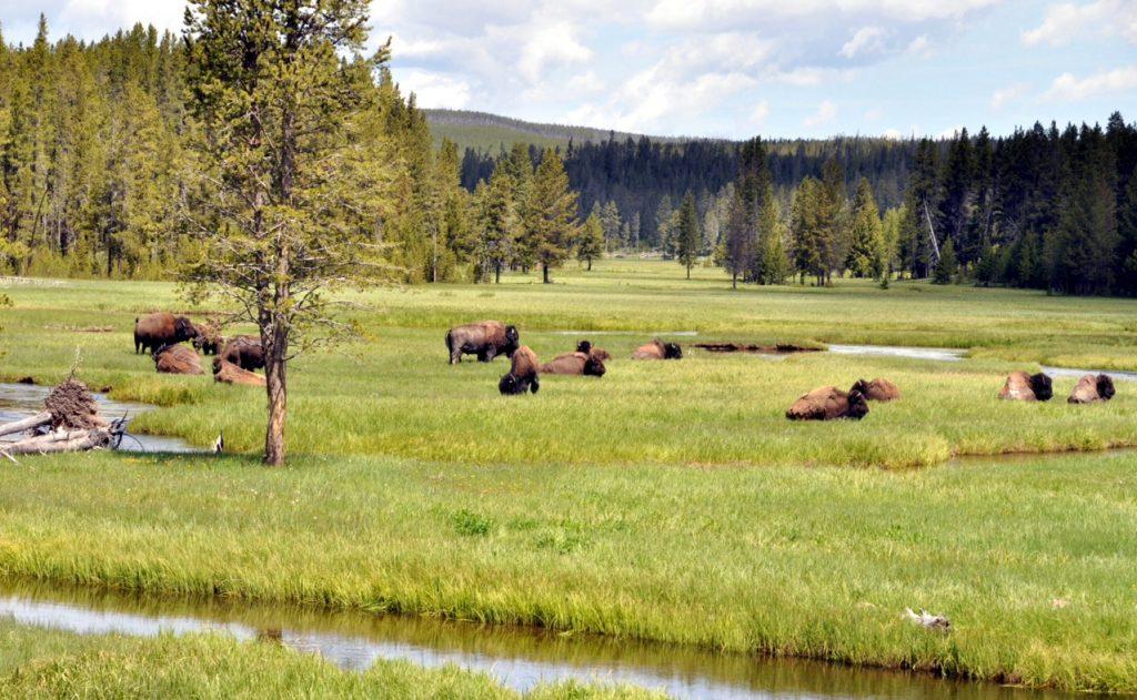 bizóny
