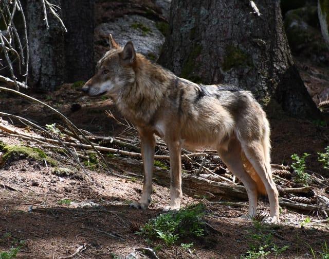 vlk zviera